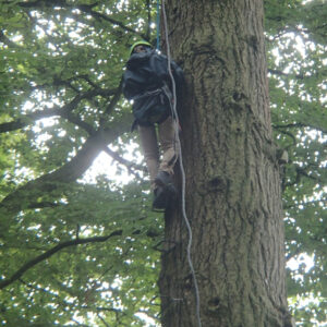 Climber on rope up a tree